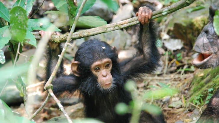 A baby chimpanzee.