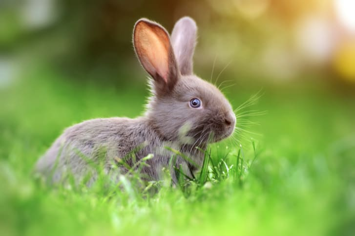 baby rabbit in the grass