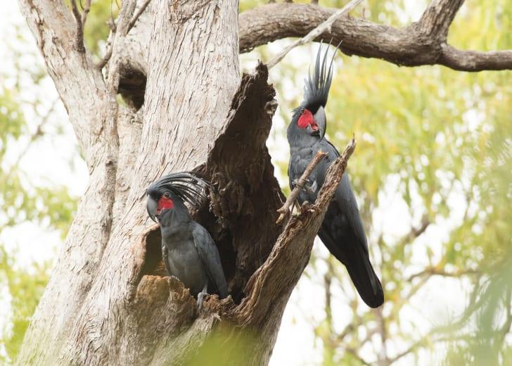 Two palm cockatoos.