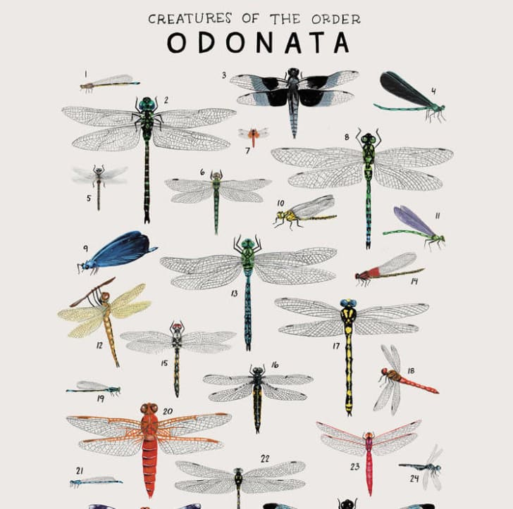Poster features dragonflies of the animal kingdom.