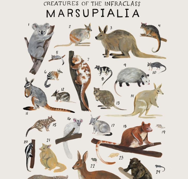 Poster features marsupial order of the animal kingdom.