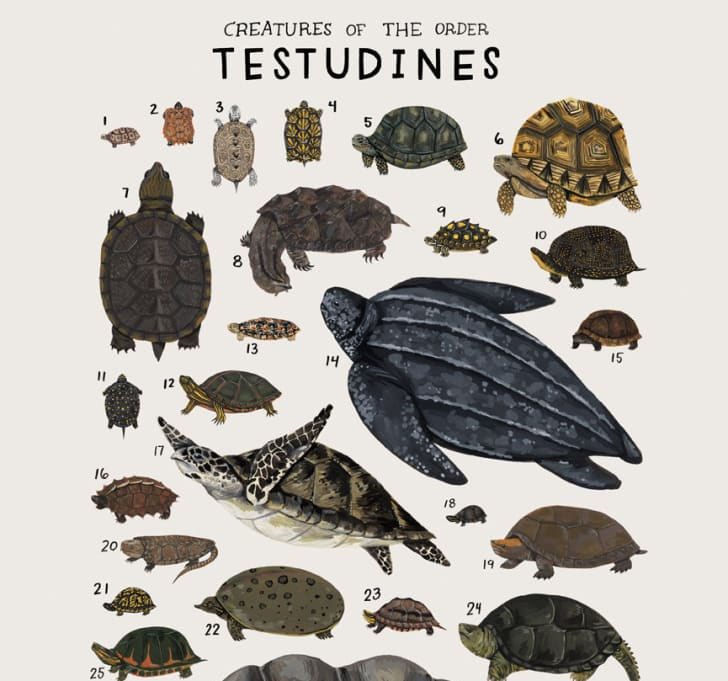 Poster features turtles of the animal kingdom.