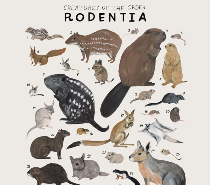 Poster features rodent order of the animal kingdom.