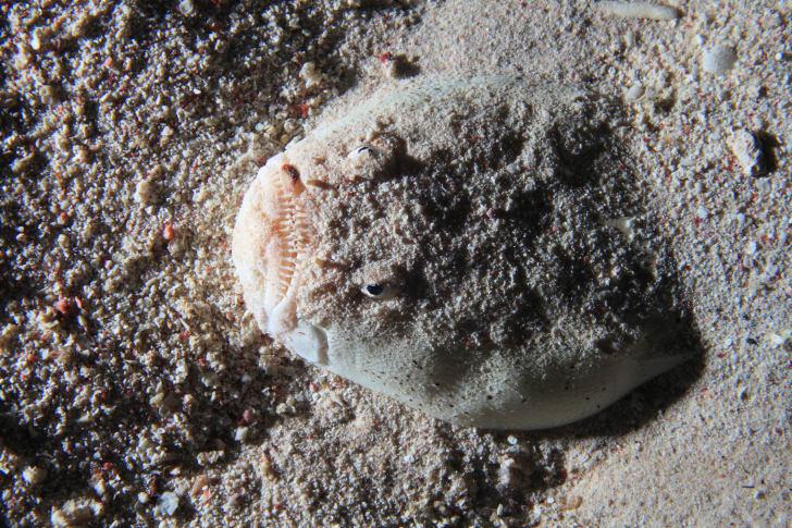A stargazer fish.