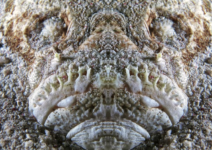 A close up of the stargazer fish face.