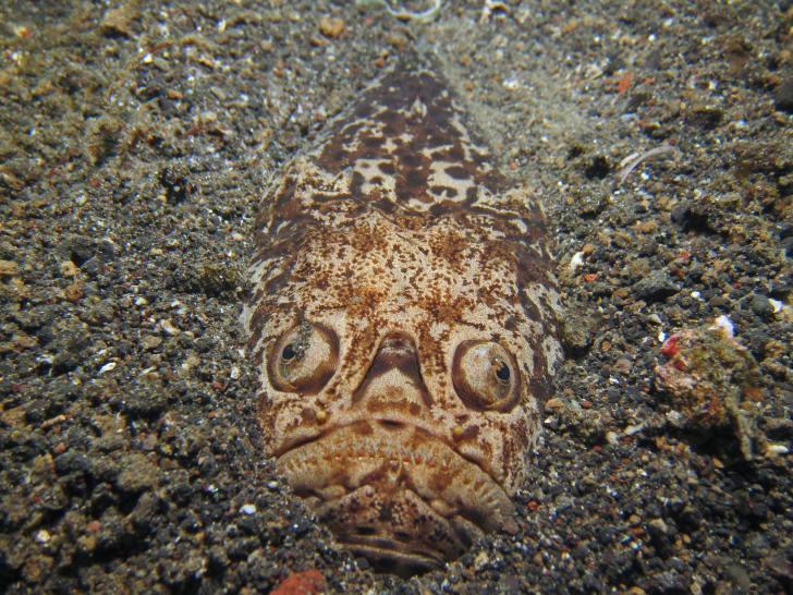 The creepy fast of a stargazer fish.