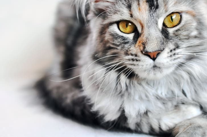 Gray Maine Coon kitten looking at camera.