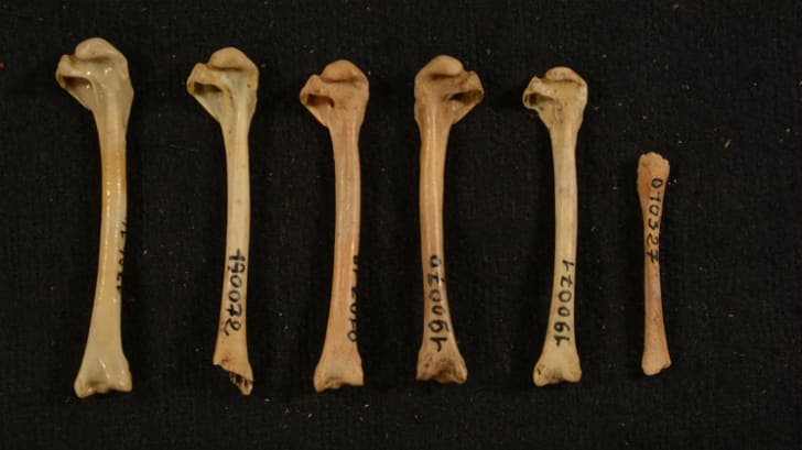 Fossilized bones from Anas marecula.