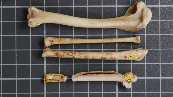 Fossilized bones from Chenonetta finschi.