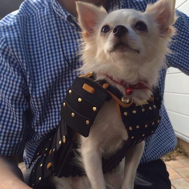 Small dog in samurai armor sitting on a man's lap.