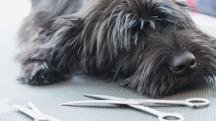 A black schnauzer dog near grooming tools