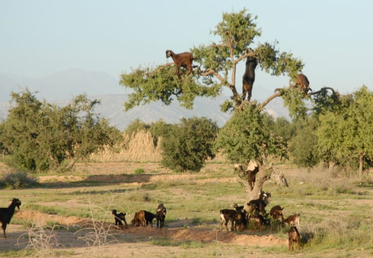 Goats grazing in an argan tree.