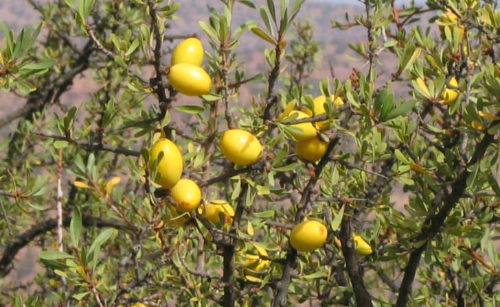 The yellow fruit of the argan tree