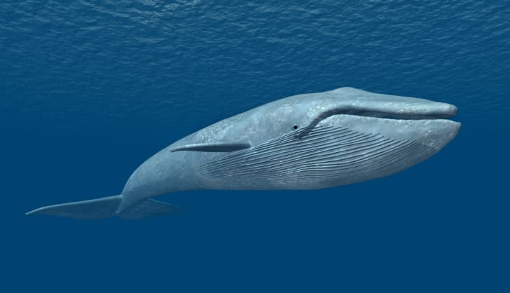 A blue whale navigates the waters