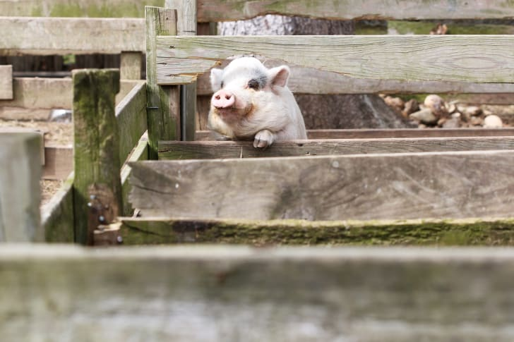 A pig looks over a fence