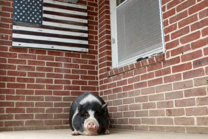 A pig sits on a front porch, beneath an American flag