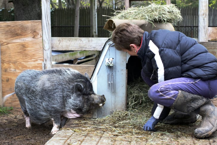 Janice Skura crouches to care for one of her pigs