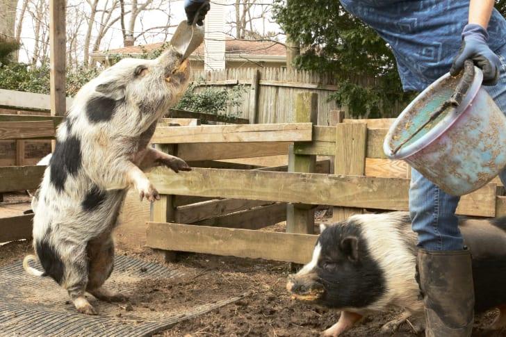 Janice Skura feeding one of her pigs