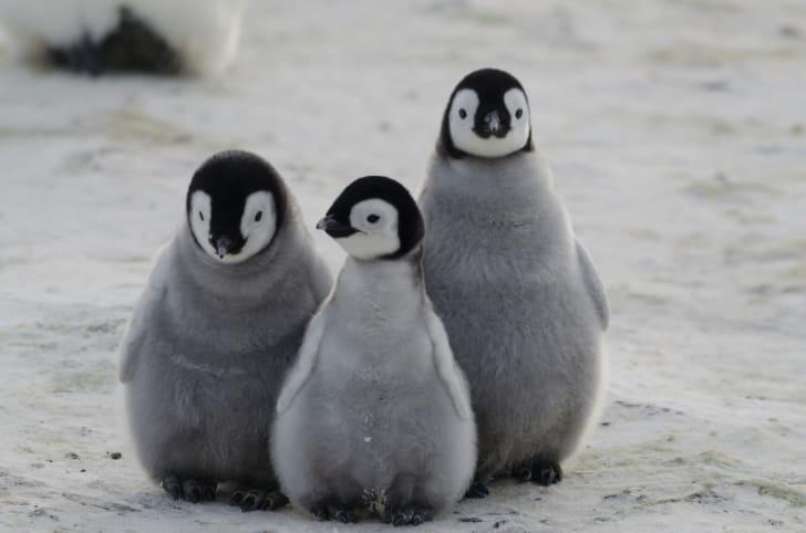 Three emperor penguin chicks