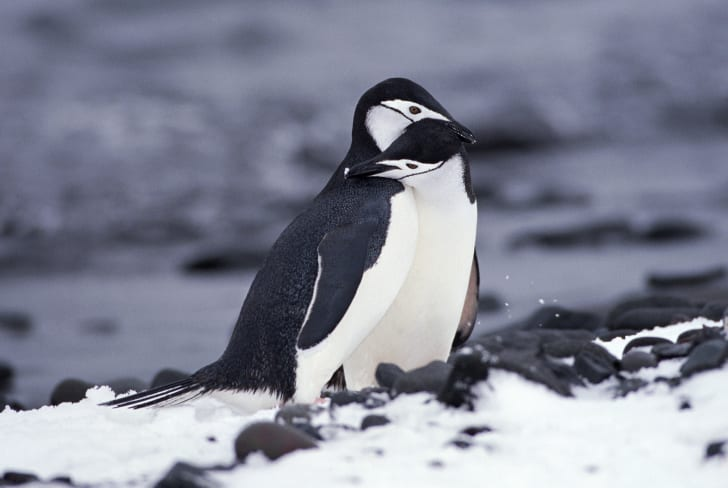 Two chinstrap penguins