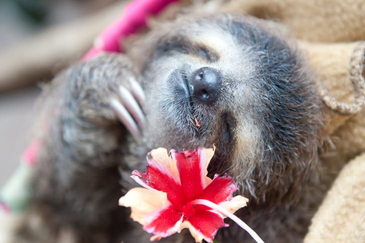 a sloth eating a hibiscus flower