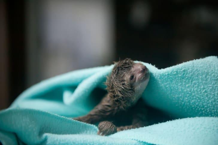 a newborn sloth