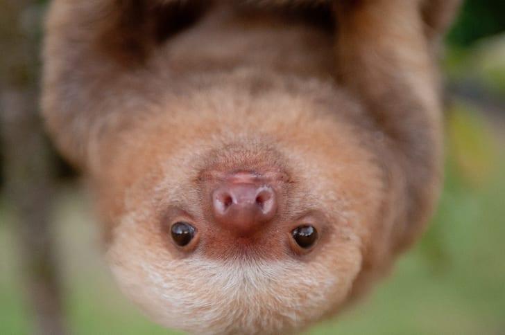 Kermie the sloth hangs upside down