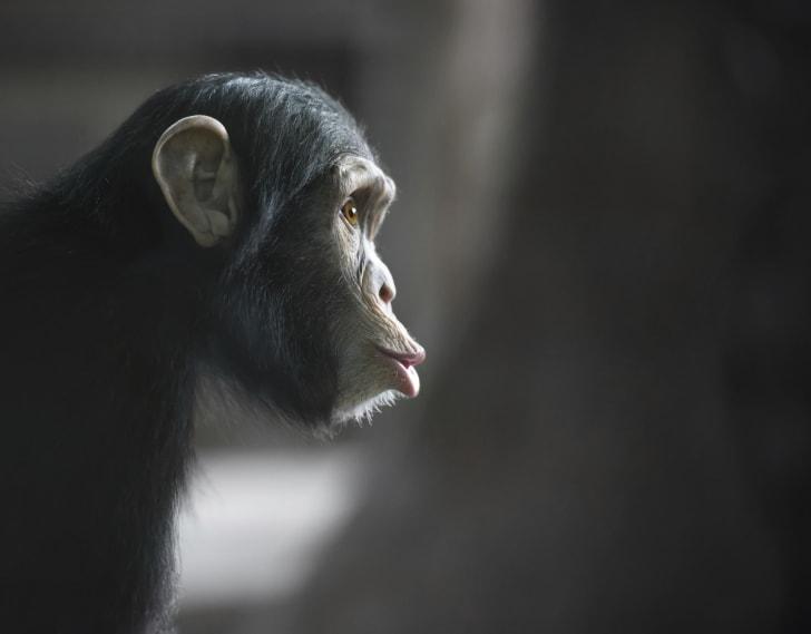 Chimpanzee looking surprised