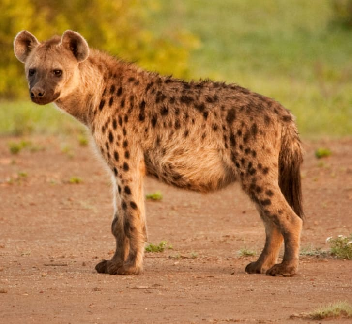 Spotted hyena in a clearing