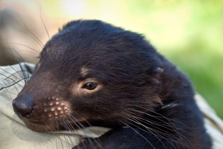 Juvenile Tasmanian devil