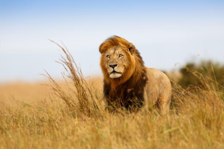 A lion in grass