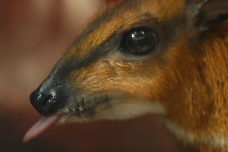 Chevrotain sticking its tongue out