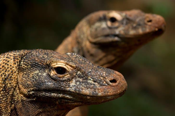Two Komodo dragons