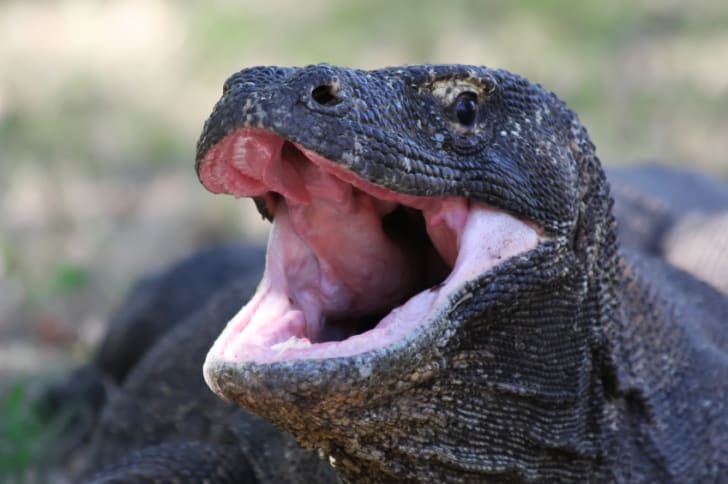 Close up head shot of a Komodo Dragon.