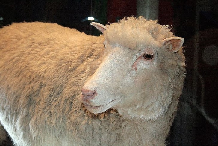 A photo of Dolly, the cloned sheep