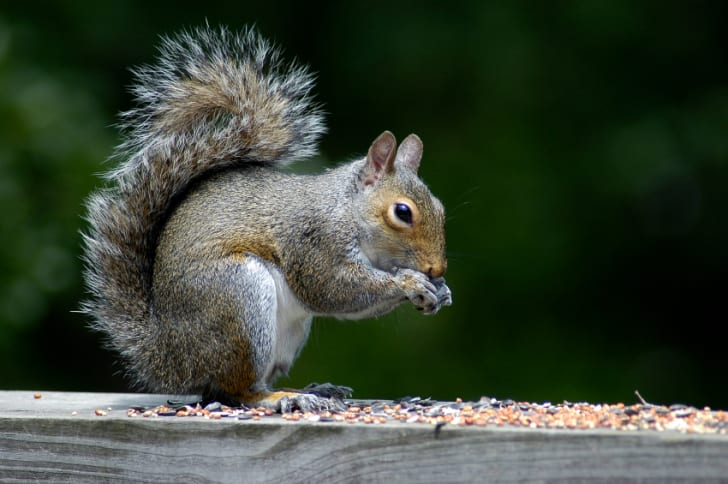 Close-up photo of a squirrel eating
