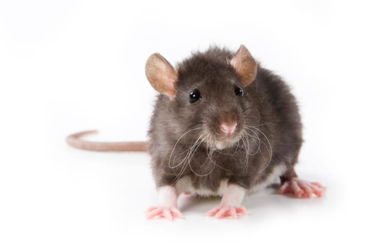 Small rat on a white background