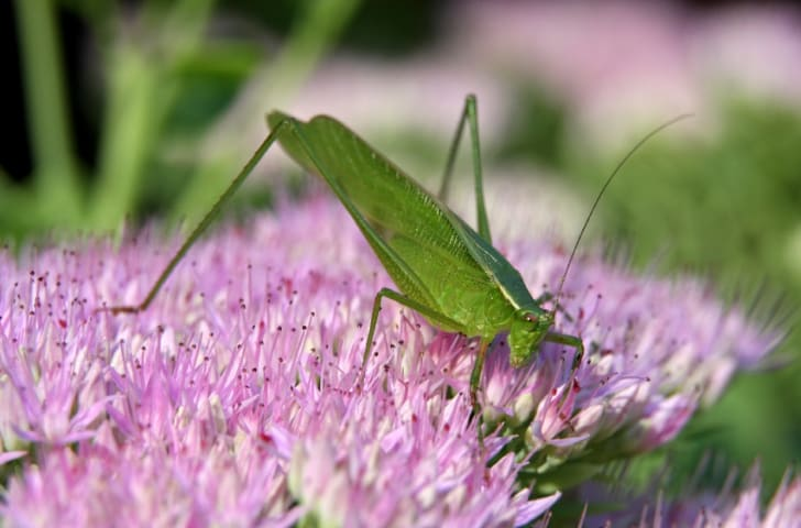 A katydid on a purple flower