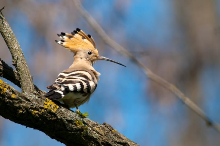 Hoopoe bird on a branch