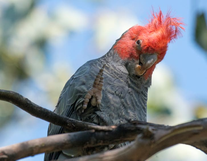 A gang-gang cockatoo