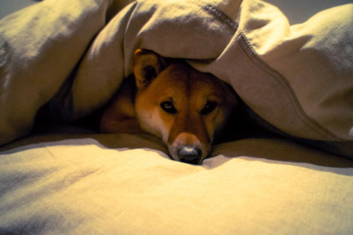 Dog laying under several layers of blankets
