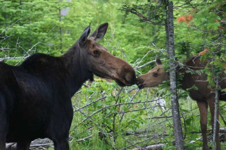 10 Gigantic Facts About Moose   Mental Floss