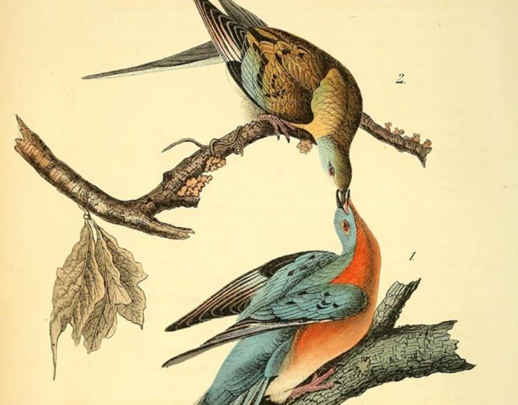 Passenger pigeons illustration