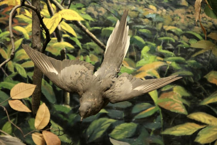 Stuffed passenger pigeon in flight
