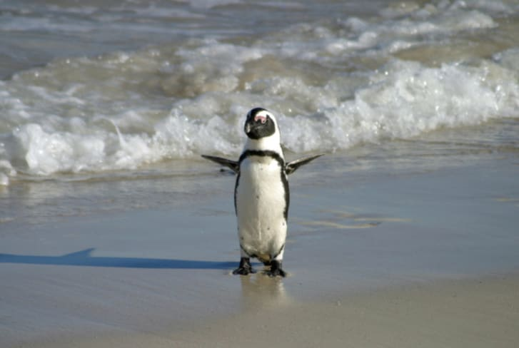 A cape penguin in South Africa