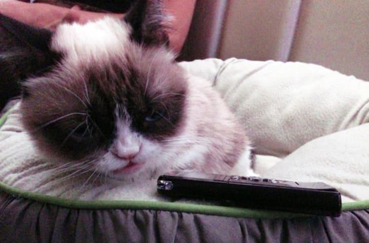 A photo of Grumpy Cat in 2013