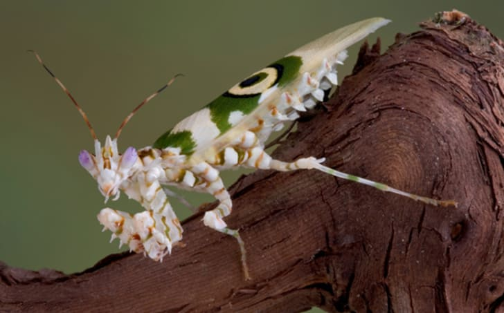 8 Facts About The Spiny Flower Mantis Mental Floss