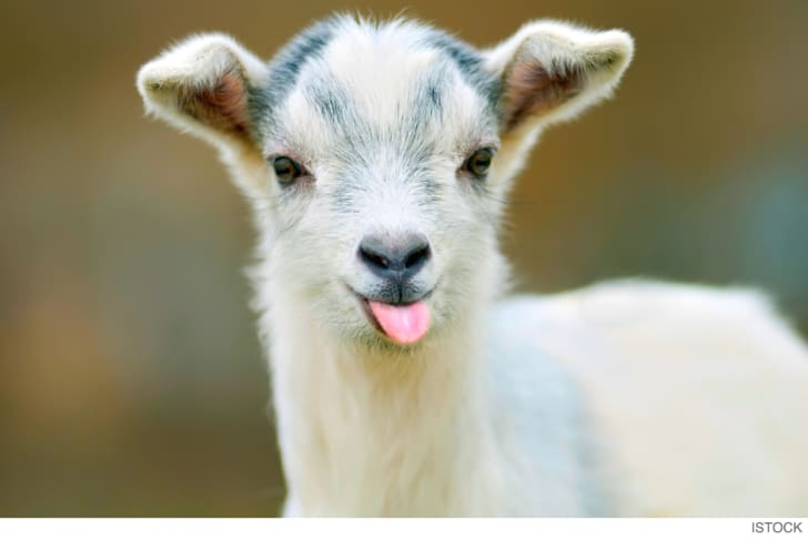 Photo of a goat with its tongue sticking out