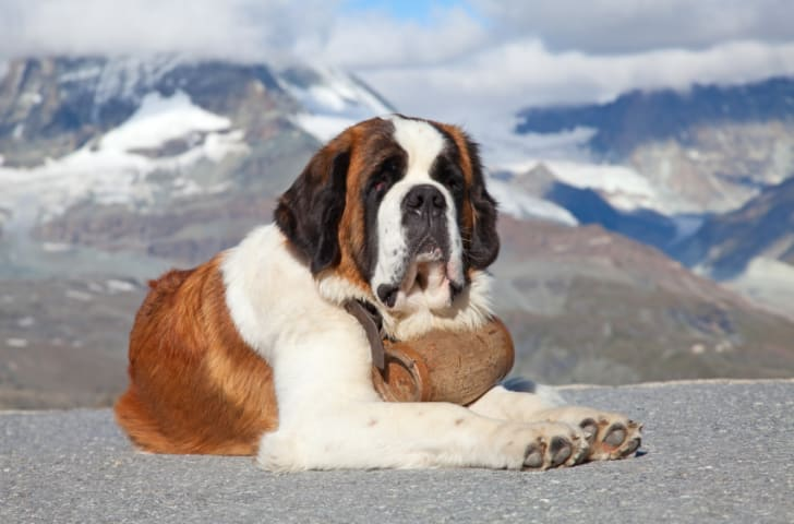 10 Facts About Saint Bernards