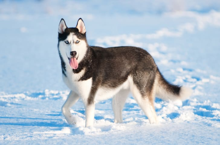 10 Warm Facts About Huskies Mental Floss